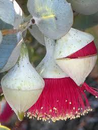 Image result for eucalyptus macrocarpa