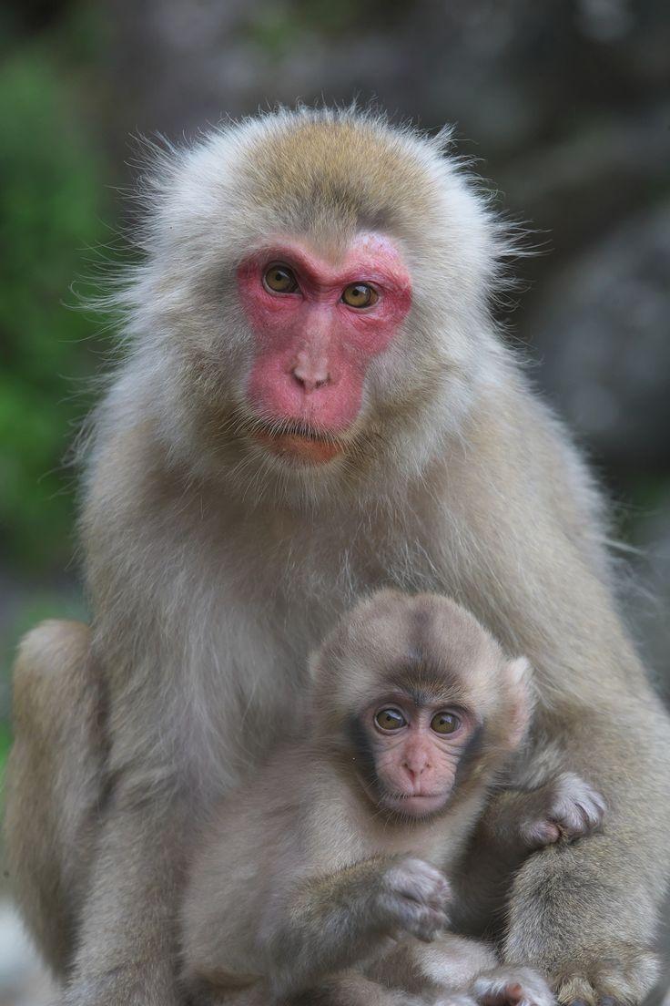 Mother and Baby - Jigokudani Monkey Park
