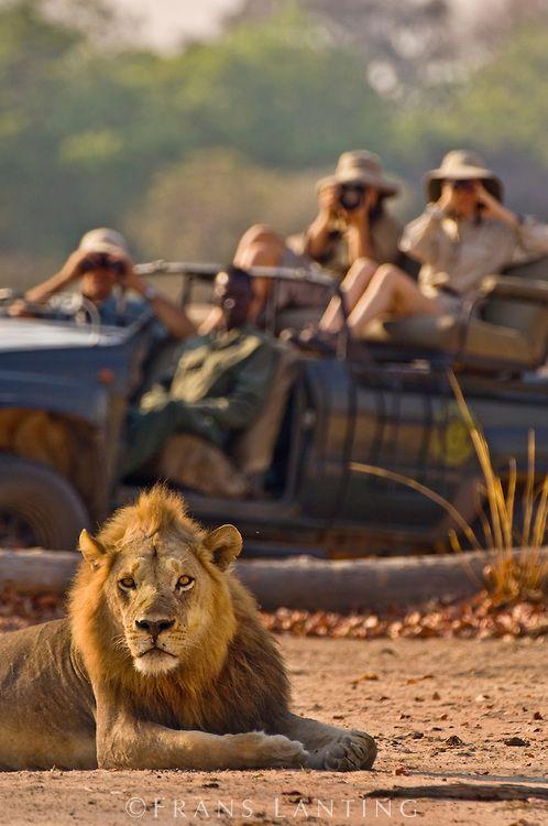 Tourists watching lion, Panthera leo, Luangwa Valley, Zambia