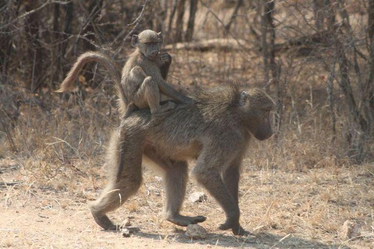 Baboons, Kruger National Park, South Africa