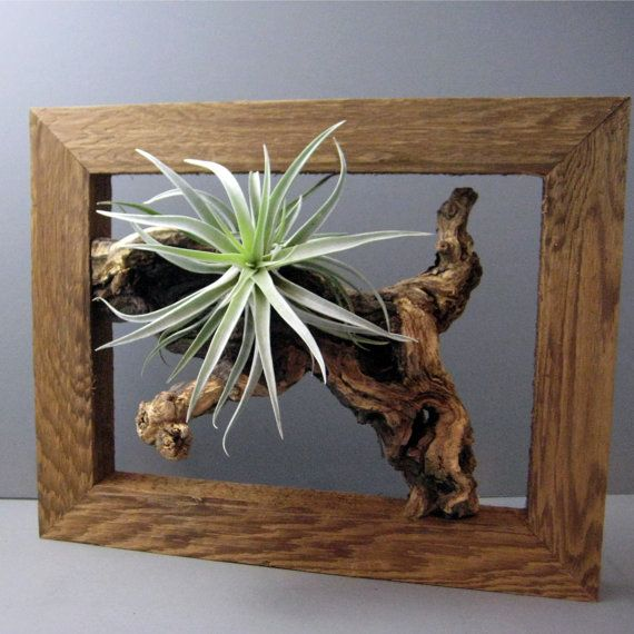 Air plant, frame, tillandsia, by Sea and Asters via Etsy