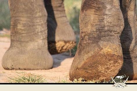 Elephants can walk almost silently!