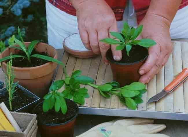 Bouturage du jasmin, lilas des Indes, oranger du Mexique et pittosporum