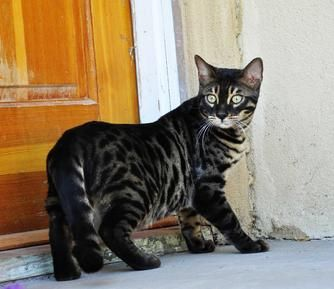 I want this charcoal bengal so bad... love the white face mask. I don't even want to know how much this guy costs lol... Probably in the $2000 range...