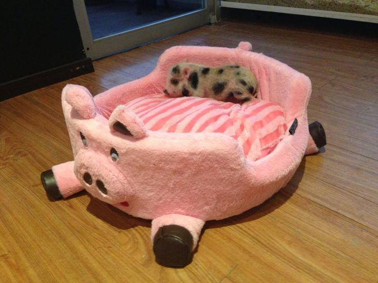 Oh good gravy, a little piglet in his pig bed. I'm in love! <3