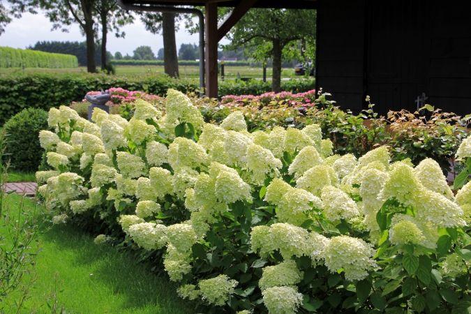 Een grote haag met pluimhortensia (Hydrangea paniculata 'Limelight') maakt deze landelijke tuin knus