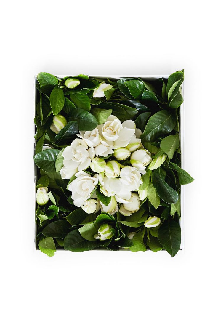 """High Camp Gardenias - The """"Deluxe Vine and Bloom"""" box includes a nest of loose blooms surrounded by over three dozen budding """"vine"""" gardenias on 8-10 inch stems. Float the blooms in bowls and add dark glossy foliage to fill. Snap the ends of stems and place vines in vases of cool water. The buds will open up within 3-4 hours. Customize tablescapes and arrangements, and indulge in the elegance and aroma that will fill your home! The Deluxe Box is perfect for a party or for the true gardenia…"""
