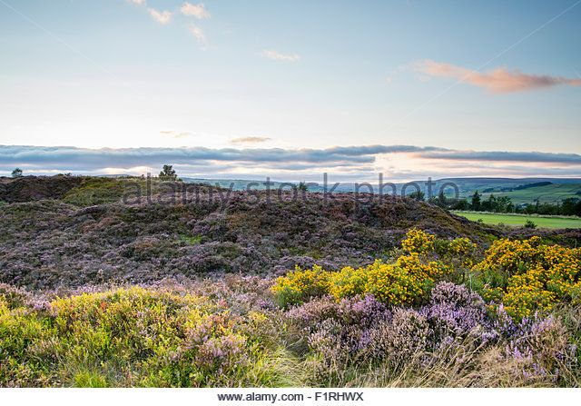 Norland, Halifax, West Yorkshire, UK 6th September, 2015. UK Weather Heather in flower on a beautiful day at sunset. Credit:  christopher smith/Alamy Live News - Stock Image