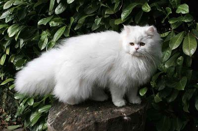 Pictures Of White Persian Kittens