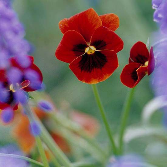If you love the look of pansies, but aren't sure how to select or grow these beautiful plants, you need to read our helpful tips and tricks. These pretty flowers can be planted in the fall, and they will have an even better bloom in the spring since they've been in the ground longer. Find out how to overwinter pansies and the relationship between the pansy and the viola. Plus, find which flowers to mix pansies with, how to shop for pansies and how to grow pansies.