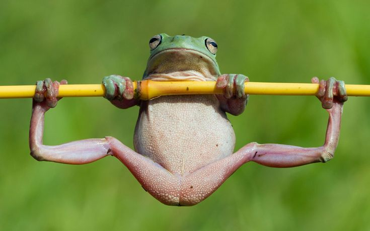 a tree frog enjoying a solitary gymnastic work out in Jakarta.