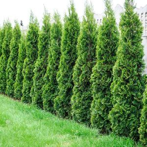 Conifer Smaragd - One of the most popular conifer varieties with stunning emerald green foliage. Cone shaped growth habit that is hardy and low maintenance. Ideal for featuring in pots; Frost and drought tolerant once established. Grows 2m high x 1m wide.