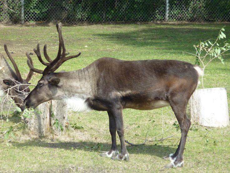 Winnipeg Zoo - Reindeer