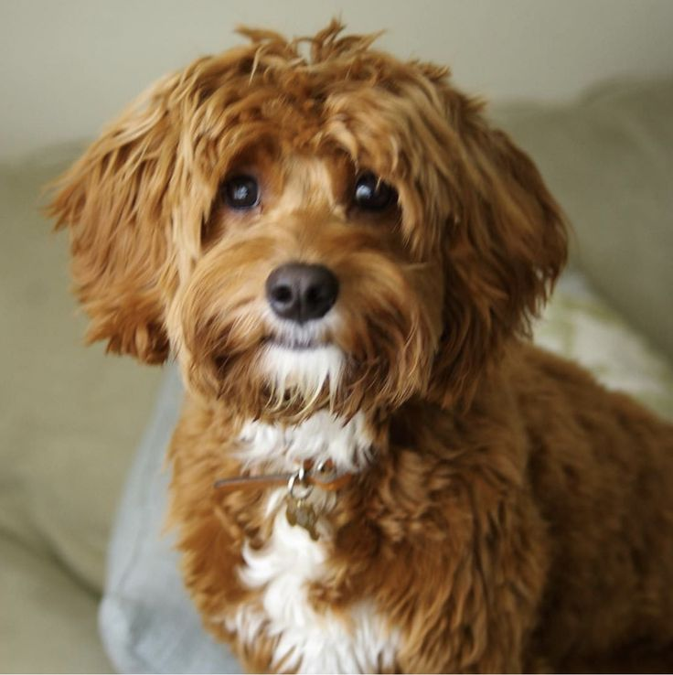 Images of Mini Cavapoo Size - #rock-cafe