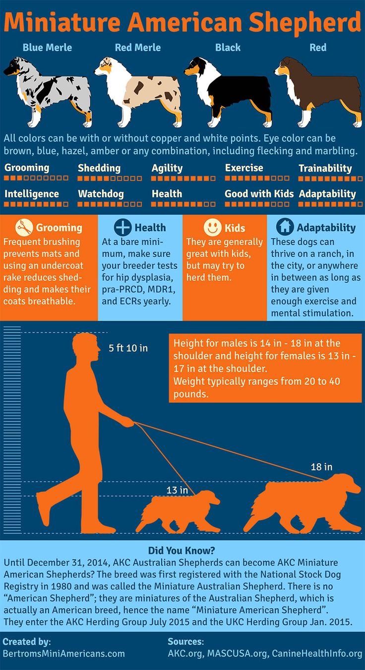 Miniature American Shepherd infographic created by Bertrom's Miniature American Shepherds