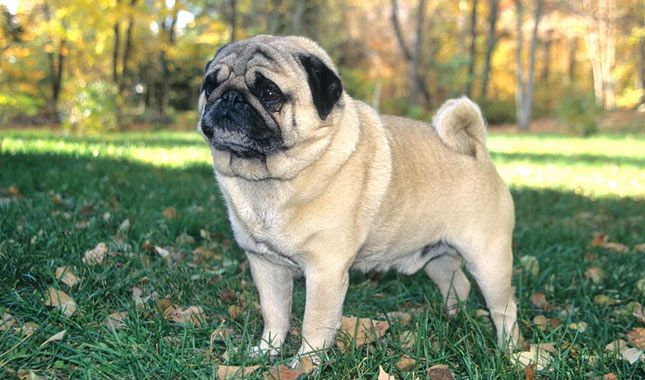 Pugs love everyone and are suited to many types of homes because they are so good friendly and outgoing. Learn all about Pug breeders, adoption health, grooming, training, and more.
