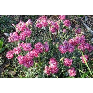 """Dianthus """"Nain Anglais rose ,rouge"""" - Pépinières Quissac"""