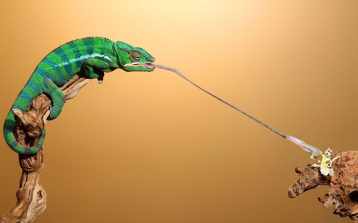Scott Cromwell captured the split-second moment when a chameleon went in for the kill. Mr Cromwell watched as Geoffrey, a 17-month-old chameleon released his tongue towards a mantis and hit it straight on.