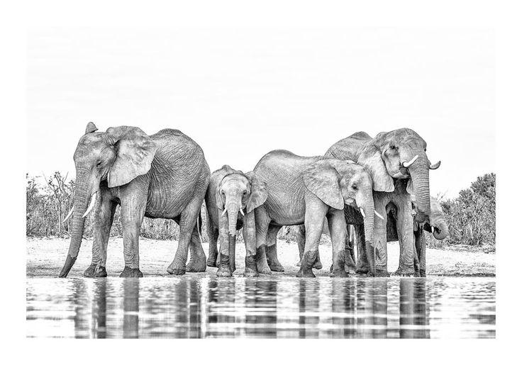 Elephant herd drinking in a BW print