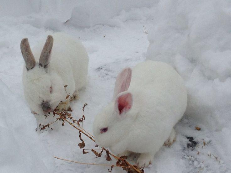 Found a little snack Stewie & Bobbie  NZ white rabbits