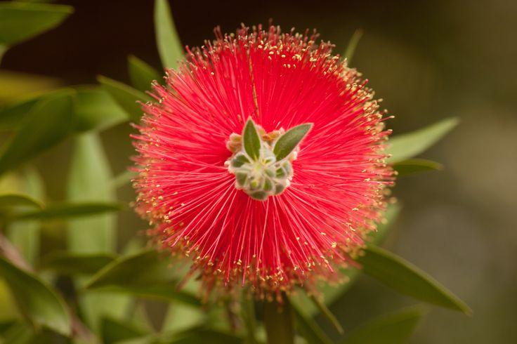 #Exotic #bottle #brush #tree for a colorful #garden!    http://www.plantsandtreesonline.co.uk/exotic-shrubs/140-callistemon-laevis-bottle-brush.html