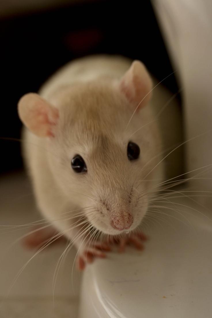 This little rat looks exactly like my Dandelion. <3
