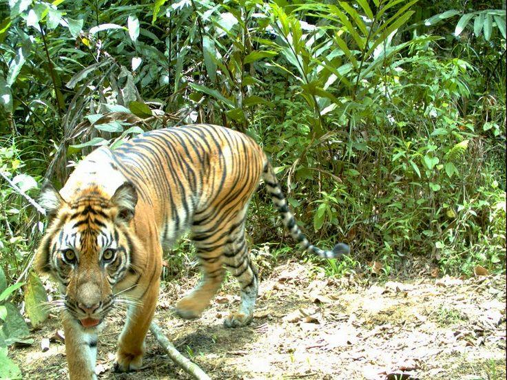 Sumatran Tiger in Bukit tigapuluh