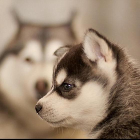 husky: Animals, Dogs, Siberian Husky, Pets, Puppys, Adorable, Baby, Huskies Puppies