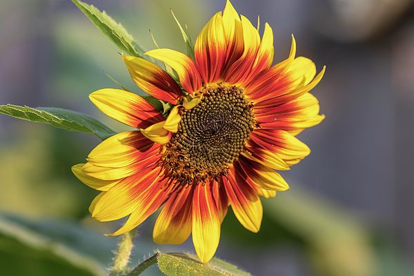 Sunflower 2018 1 By Thomas Young Sunflower Beautiful Flowers