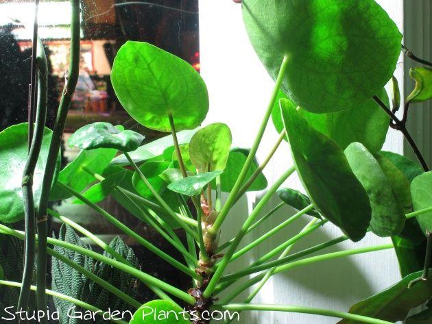 17 best images about house plants on pinterest plants. Black Bedroom Furniture Sets. Home Design Ideas