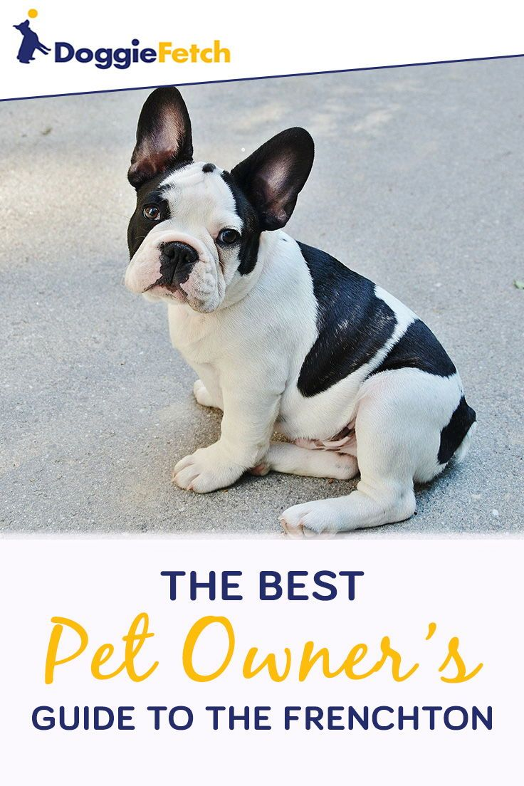 A Pet Owner S Guide To The Frenchton Frenchton Dog Puppy