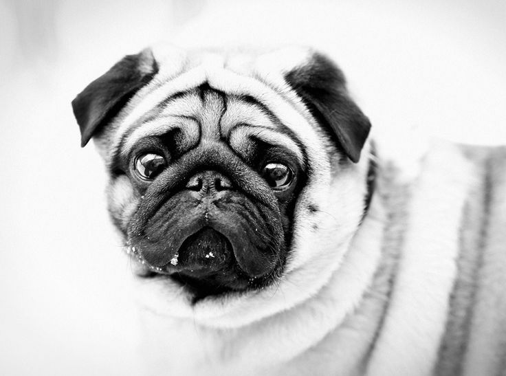200 best images about pug wallpaper screensaver on - Free funny animal screensavers ...