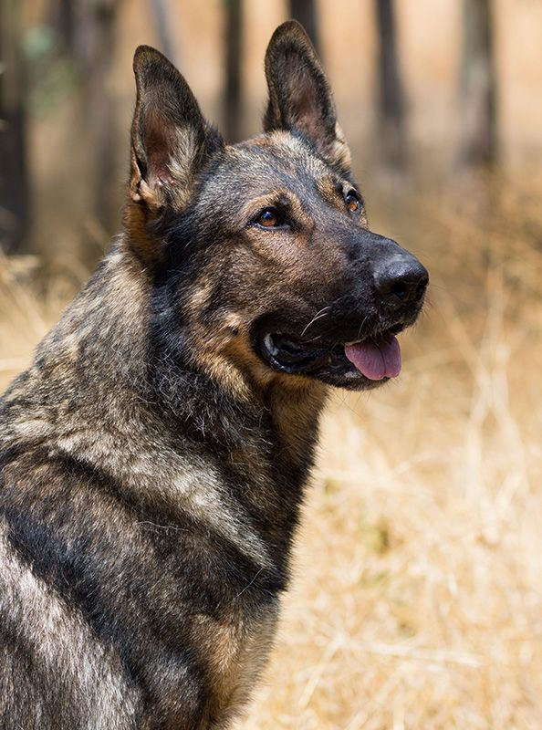 Taylor Made Working Dogs Working Dogs Dogs Working Dogs Breeds