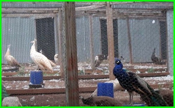 Cara Memelihara Dan Merawat Burung Merak Daftarhewan Com Burung Merak Hewan