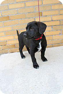 Baltimore, MD - Labrador Retriever/Black and Tan Coonhound Mix. Meet Lab Mix Pups a Puppy for Adoption.