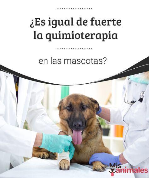 ¿Es igual de fuerte la quimioterapia en las mascotas? - Mis Animales  Si pensamos en la quimioterapia, nos vienen a la cabeza imágenes terribles, con efectos secundarios que no deseamos, y que nos producen miedo. #salud #quimioterpia #mascota #efectos