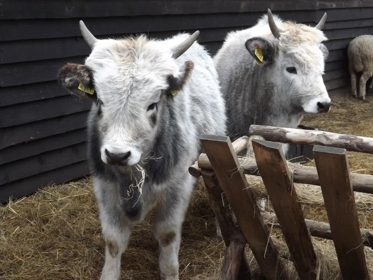 Hungarian Grey Cattle babies.. So cute!!