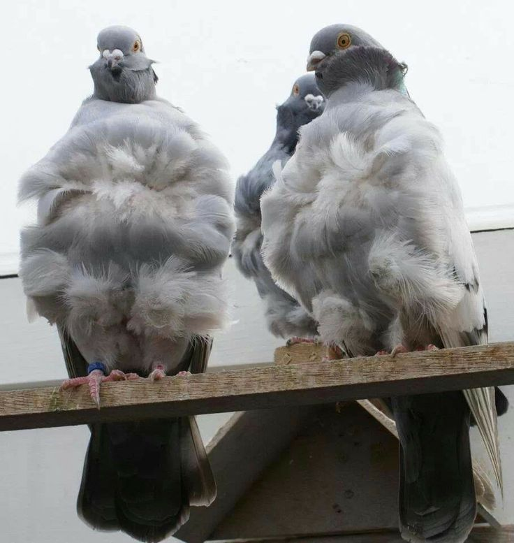 Chinese owl pigeons | Pigeon, Beautiful birds, Dove pigeon
