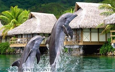 Dlphins...Moorea Intercontinental Resort Moorea