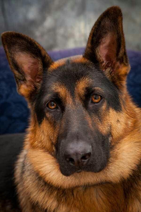 4849 best German Shepherds images on Pinterest | German ...