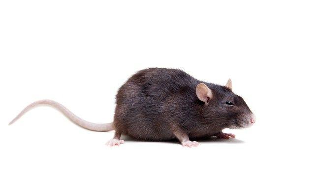 Ratten Im Garten Bekampfen Die Besten Tipps Ratten Ratten Vertreiben Katzen Futter