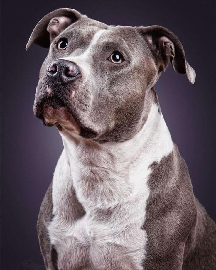 Dog S Dog Dogs Animals Cats Pitbull Terrier Pitbull Welpen Hunde Welpen