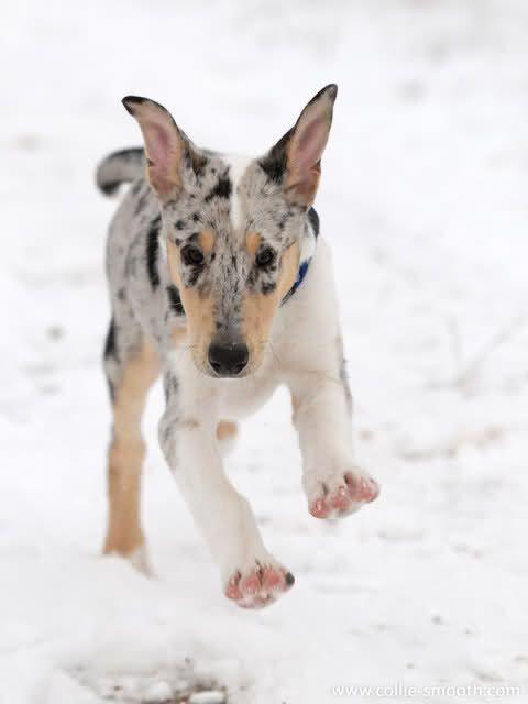 Smooth Collie (blue merle) puppy