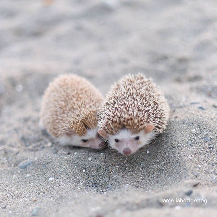 """""""Two 'Pup' Hedgehogs in the sand ~ sure does makes life seem grand!"""" (Written By: Lynn Chateau © )"""