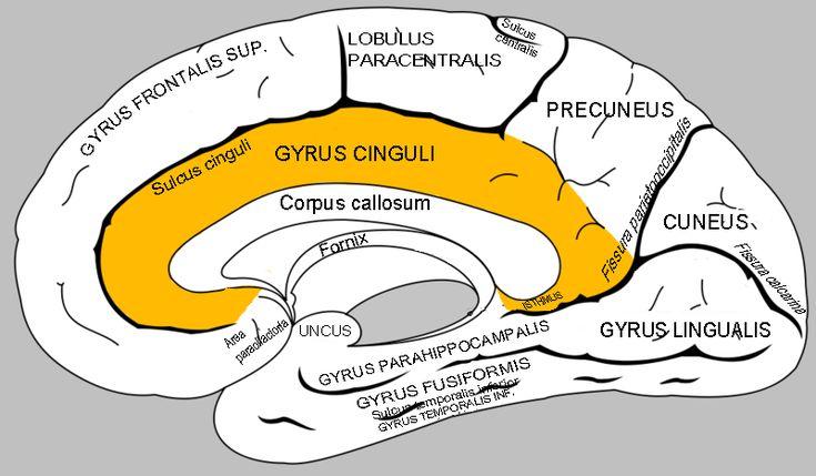 gyrus isthmus of cingulate gyrus lingual gyrus splenium