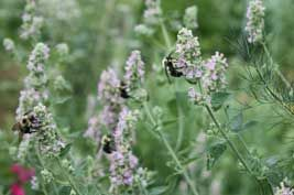 Great plants for pollinators