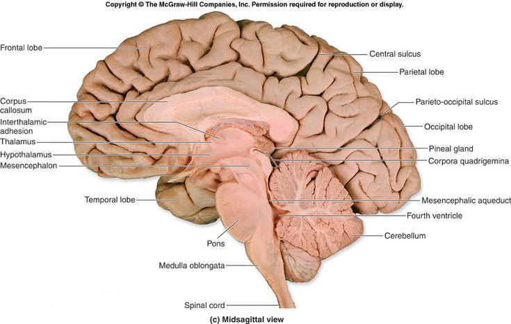 Human Brain Cross Section Midsagittal View: Cerebrum: Frontal/Parietal/Temporal/Occipital lobes, Cerebellum, Pons, Medulla, Thalamus, Hypothalamus, Corpus Callosum, Lateral Ventricles, 3rd & 4th Ventricle, Spinal Cord, Pineal Gland, Pituitary Gland