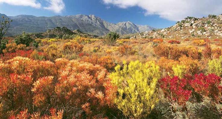 Cape fynbos