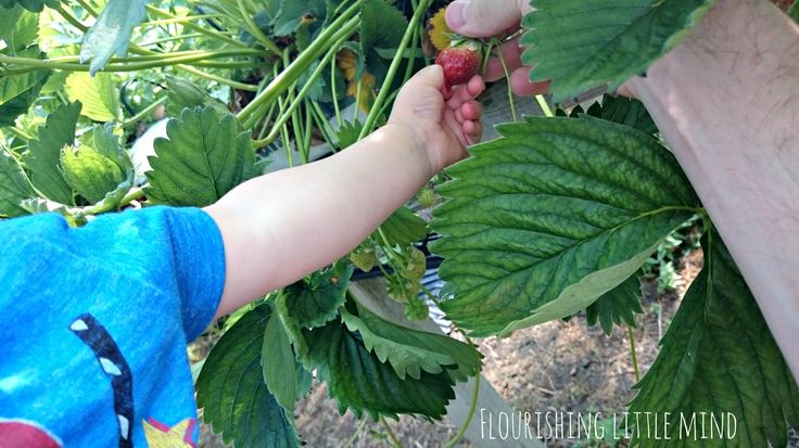 Fruit picking at Craigies farm. great day out (central Scotland)