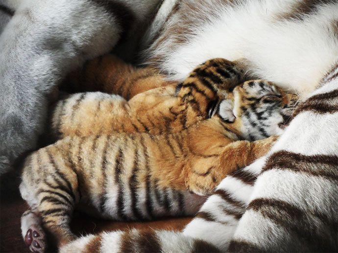 Las primeras fotos de los tres tigres de bengala que nacieron en el Zoológico de Cali | EL PAIS